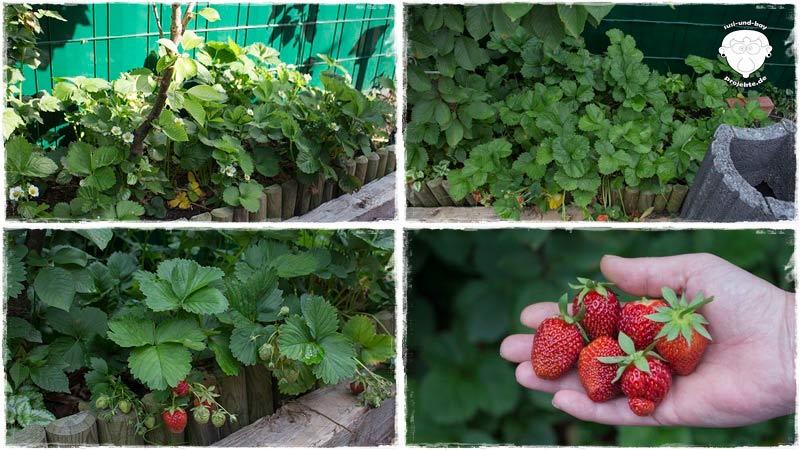 Garten-Erdbeeren-erste-ernte