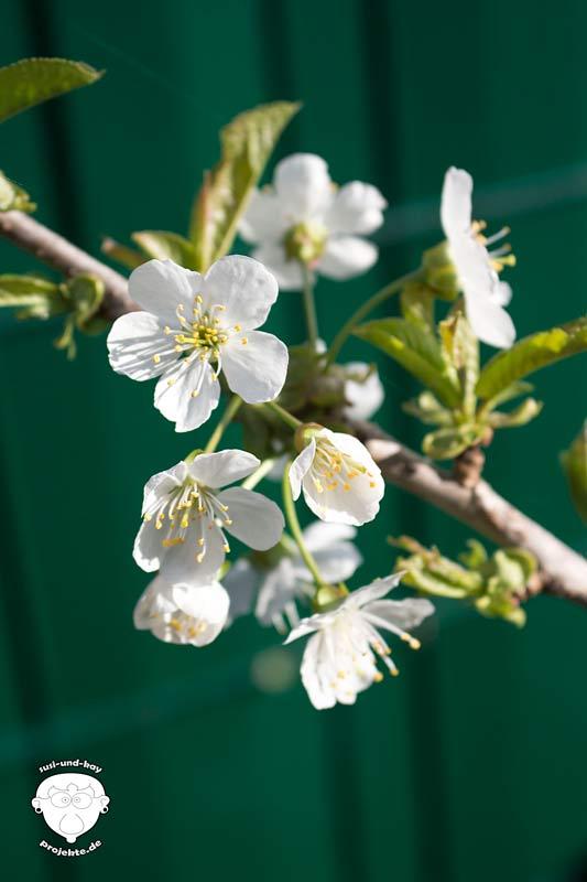 Garten-Kirschblüten