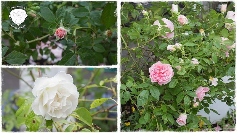 Rosen-Garten